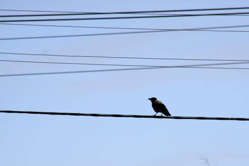 Eine Krähe saß auf Draht
